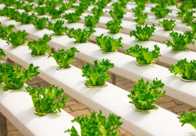 smart greenhouse agriculture basil bunch