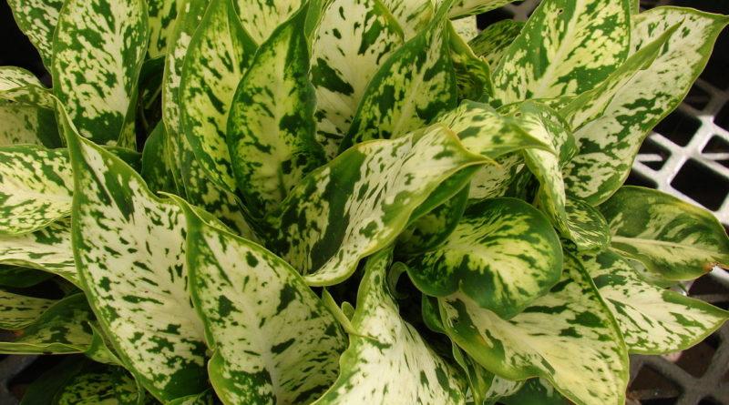 Dieffenbachia maculata sparkles